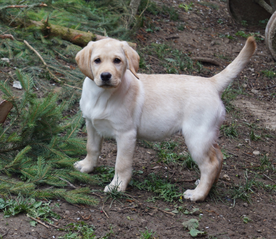 Crooked Field Labradors Labradorzuchter Labradorwelpen Labradorwelpen Baden Wurttemberg